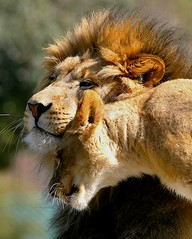 Never Ending Love (Don Baird) Tags: love king friendship zen lions purr meditation embrace naturesfinest gentleness quietude animalkingdomelite