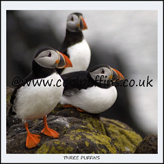 Three Puffins (Magdalen Green Photography) Tags: ilovenature scotland three dundee scottish puffin puffins isleofmay rspb naturesfinest fantabulous fraterculaarctica atlanticpuffins royalsocietyfortheprotectionofbirds abigfave