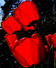 Red tulips closeup (Per Ola Wiberg ~ Powi) Tags: flowers red nature spring tulips sweden 100v10f harmony april sverige mygarden blommor jol springtime vr flowerbox musictomyeyes aclass tulpaner favoritephotos otw mostintresting eker 2thumbsup wrangels flowerlovers flowerlover masterphotos languageofflowers abigfave vrblommor datacline superbmasterpiece fabulousflowers photosandcalendar flickrbronzeaward flowerblooms heartawards diamondstars eperke flowerwatcher exemplaryshotsflickrsbest macromix justlovelyphotos macroflowerlovers crazyaboutnature worldofflowers highqualityimage ilovemypics exquisiteflowers mimamorflowers beautifulshot photographersgonewild awesomeblossoms naturestreasures oletusfotos photographerparadise naturescreations flowercauleleaf amazingdetails passionforflowers dreamsilldream fabulousplanet flickrsgottalent mygearandme fireworksofphotos silveramazingdetails thenaturalworld thenaturessoul 2heartsaward flowersmania hellofriend flowerswonder lovelyflowersgroup florafaunaypaisajes