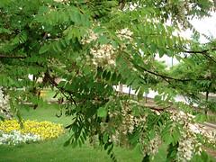 Acacia (marzii) Tags: tree nature spring memorial iran urbannature tehran acacia walkingaround naturesfinest marzii