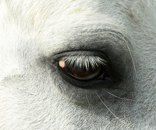 Equine eyelashes