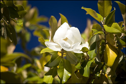 90 degrees and the magnolias in bloom, tell me it isn't summer