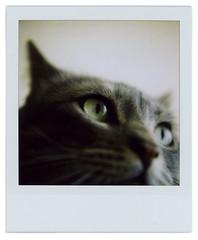 Cat closeup (Cea tecea) Tags: eye closeup cat polaroid sx70 sveva vevi closeuplens sx70blend