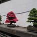 Bonsai Trees at National Arboretum 2