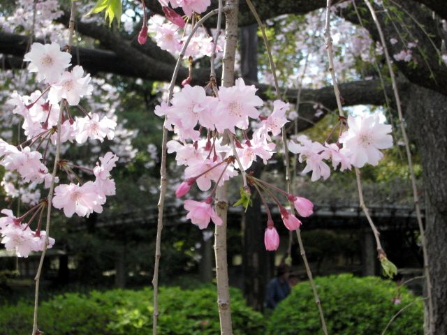 京都・城南宮38 桃山の庭11 枝垂れ桜 里桜