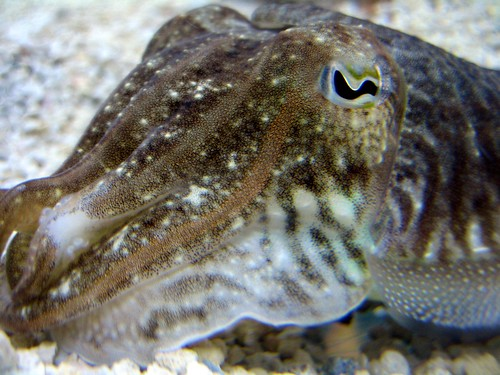 cuttlefish - i love these!