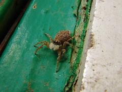 Spinne (Joachim S. Müller) Tags: españa animal spider spain kanaren canarias tenerife spinne araña teneriffa canaryislands spanien tier espania islascanarias kanarischeinseln