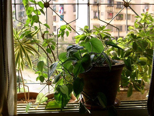 Money plant in the window