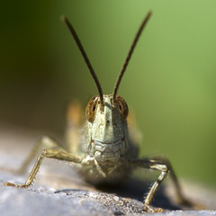Hullo! (macropoulos) Tags: topf50 triptych 500v20f 500v50f grasshopper 1000v100f orthoptera animalia arthropoda gettyimages insecta naturesfinest acrididae 500x500 blueribbonwinner caelifera supershot 1500v60f 1000v40f canonef100mmf28macrousm outstandingshots flickrsbest 3000v120f specanimal mywinners abigfave canoneos400d aplusphoto visiongroup specinsect superbmasterpiece 100faves100comments1000views goldenphotographer magicofaworldinmacro macrofotedcontest macromix 240x240 winner500 macro500x500 gettyimages:date_added=pre20110607