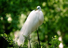 Homosassa Springs, FL (alfuso) Tags: heron florida greategret greatwhite homosassasprings featheryfriday largebirds
