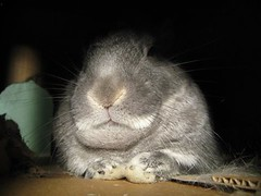 """""""I made him an offer he couldn't refuse."""" (MacaDamien) Tags: cute rabbit bunny fur nose furry shadows lily quote whiskers paws godfather chin thug disapproving happyfurryfriday dewlap 99views pittsburghpet shebeatsupthecat"""