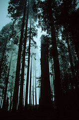 Tree Cathedral II (Andrew Luyten) Tags: california usa mist tree silhouette forest redwood sequoia sequoianationalpark sequoiadendrongiganteum