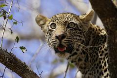Leopard Cub (Lyndon Firman) Tags: africa cute canon southafrica bravo safari leopard 500mm eos1d babyanimal naturesfinest malamala blueribbonwinner parkstock magicdonkey specanimal animalkingdomelite anawesomeshot superaplus aplusphoto bfgreatesthits