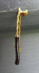 dangling-caterpillars