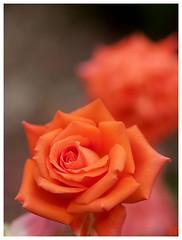 Orange Rose #02