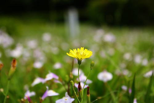 IMGP9214_孤零零的小黃花