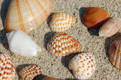 Sea shells 2 (rticotropical) Tags: ocean trip travel sea wild vacation orange brown sun shells white house holiday macro texture beach home nature wet water animal closeup relax skeleton spiral still sand marine dubai crystals surf waves quiet afternoon underwater flat earth small uae grain hard smooth shell snail evolution sealife clam calm romance clean exotic arab shore shade smell repetition tropical grooves leisure safe organic rough thin gaia biology seashore swell striped jumeirah earthtones invertebrate microcosm coarse aural timeoff