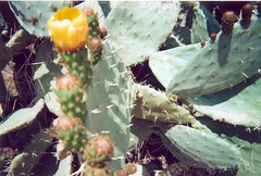 Cactus Flower زهرة الصبار