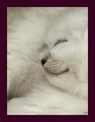 Tendresse, le 8 juin les chatons dorment les uns sur les autres. (francois et fier de l'Être) Tags: cats cat chats chat tendresse chaton sommeil kiss2 chatons douceur kiss3 kiss1 confiance francoisetfier 1j1p langueur