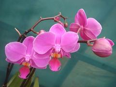 Pink orchid (perseverando) Tags: pink flowers orchid flower flowerpicturesnolimits brillianteyejewel