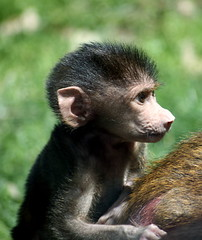 """!baby baboon 1"""" by Truk71"""