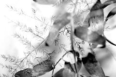 Spine (l) Tags: bw blackwhite bn fiore biancoenero bellezza naturalmente fioritura eleganza cristicchi fragilit rosarossaredfioreregalodonobello sfidephotoamatori valart