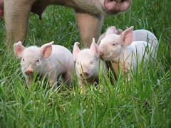 Pinky Pigs on Grass (L. A. Garchi) Tags: pink sea love animal puppy piggy pig puppies published peace friendship el lg explore le het planet animaux sweetness cochon animalplanet glas ferme schwein tenderness varken babi zoology switserland porc cerdo  sveitsi   fratrie prase grisen  img2293  motherness  suitza ln leonardgarchi impressedbeauty  petitscochons pourceau zvicra spseeingthelight     uswisi  kiauls allrightsreservedglas  suitzan