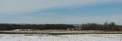 Snow Geese - Distant view (rici0322) Tags: nature birds snowgeese