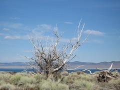 Funky Trees Near Mono Lake