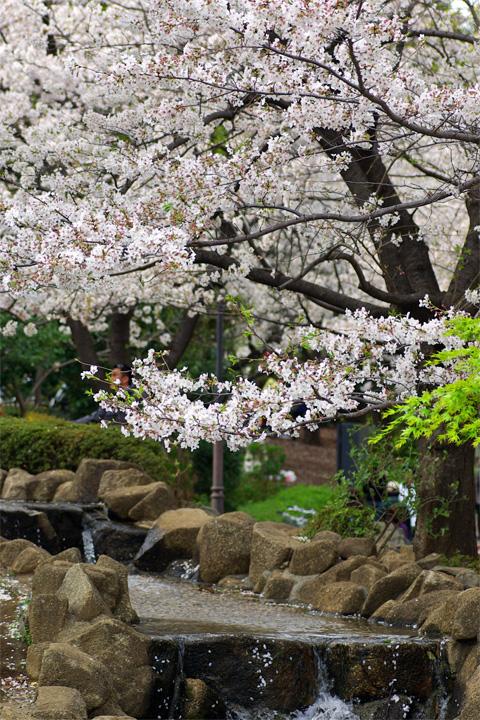 Sakura 2007 04