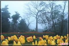 Tulip00138(001) (tsaicharles) Tags: