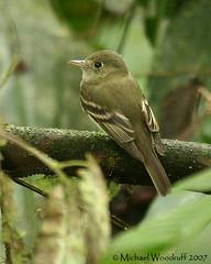 Acadian Flycatcher (Michael Woodruff) Tags: bird birds ecuador birding acadian foothill flycatcher lowland empidonax pvm acadianflycatcher empidonaxvirescens empid nwecuador riosilanche