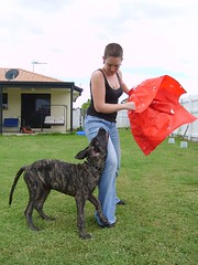 Chomp! (robstephaustralia) Tags: dog cute puppy dante great mastiff dane bullfight toro matador
