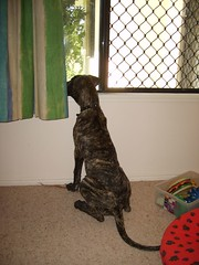 S6005166 (robstephaustralia) Tags: dog cute puppy dante great mastiff dane bullfight toro matador