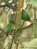 Grass-green Tanager (Michael Woodruff) Tags: red brown green bird birds ecuador birding cloudforest choco tanager subtropics grassgreen nwecuador oldnonomindord nonomindo nonomindord grassgreentanager chlorornis chlorornisriefferii