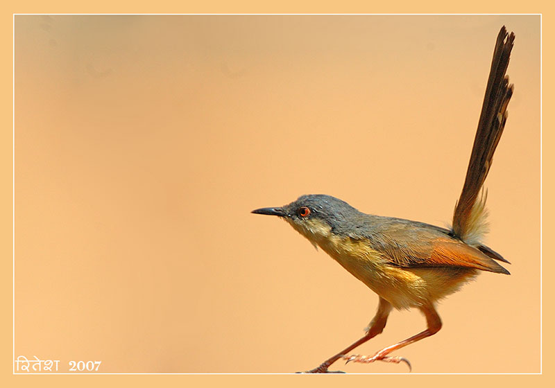 Ashy-Prinia--poised-sml