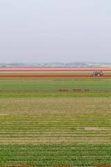 Just lines (Bob van Ooik) Tags: flowers red green field lines tulips bulbs keukenhof bollenveld