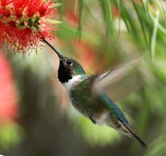 Hummingbird in Pastels