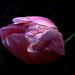 Nicajack Tulip