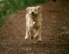 940510-00-66 (Russ Beinder) Tags: dog pet film topv111 goldenretriever bc topc50 foster portcoquitlam nikonfa 50club pet100 decoratedanimal