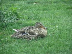Female mallard on nest Armleder park