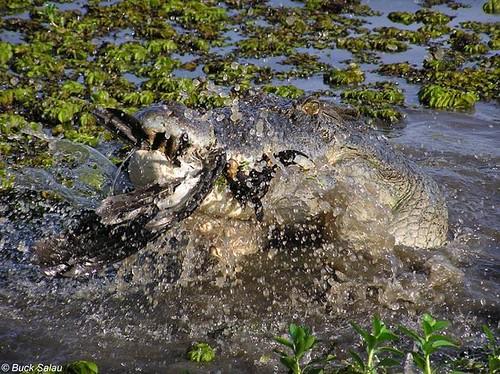 Saltwater crocodile vs tiger - photo#47