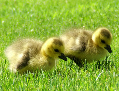 Nature (shesnuckinfuts) Tags: nature birds geese spring babies quote franklloydwright goslings wa naturesfinest voicesinthewilderness quoted featheryfriday ilovebirds april2007 specanimal shesnuckinfuts thoughtstoliveby washingtonstateoutdoors springtimebabies