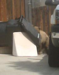 IMAG0040 (Dave Malkoff) Tags: california bear ca wild food baby black cute animal trash cub fuzzy can cuddly bradbury blackbear