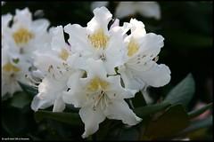 * (Dit is Suzanne) Tags: white netherlands spring nederland canondigitalrebel azalea groningen lente wit  views50 vinkhuizen img5726    turkooisstraat ditissuzanne 27042007