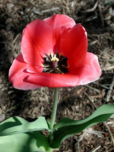 tulip after