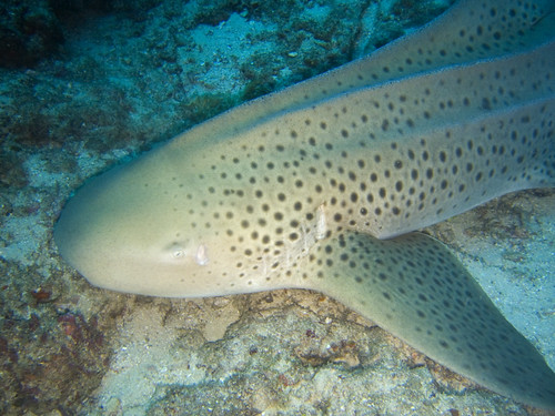 leopard shark by jon hanson, on Flickr
