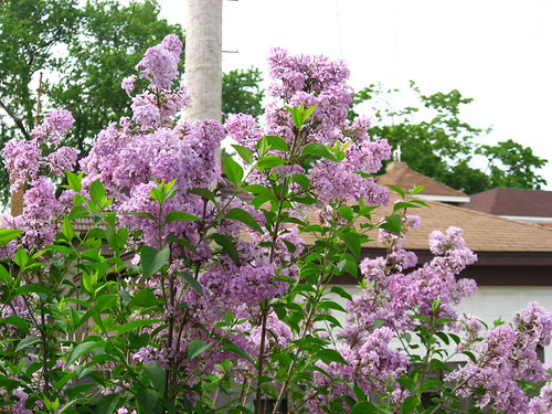 Lilac in bloom