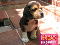 Donna 01 (morareyes) Tags: pictures pets cute art textura love beagle dogs beauty illustration america puppy advertising design photo nice puppies colombia publicidad arte sweet amor south bonito lifestyle images best identity cachorro latin estilo perros latino hermoso fotografia imagenes diseo logos mascota santander brands ilustracion beagles pinturas graphical grafico marcas calidad suramerica identidad logotypes piedecuesta beattexture