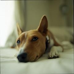 hm? ;) (TommyOshima) Tags: portrait hairy dog simon 6x6 closeup mediumformat square relax 50mm kodak 120film bronica basenji nikkor soe f28 portra800 500x500 zenzabronica ectl 240x240 winner500